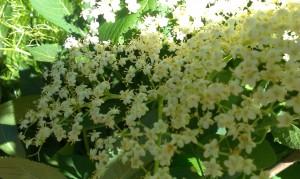 kwiat bzu czarnego3