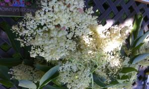 kwiat bzu czarnego6