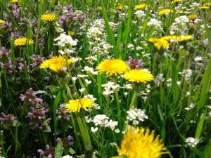 Łąka pełna wiosennych ziół