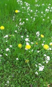 Ziołowa łąka na wiosnę