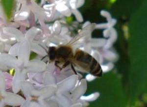 pszoła-na-kwiatach